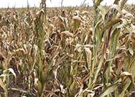 Maize straw